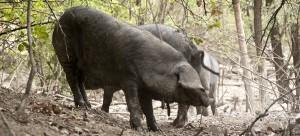 maiale nero di Parma